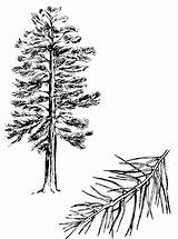 Pine Tree Tattoo Sketch Coloring Outline Trees Clipart Tattoos Drawing Clip Ponderosa Branch Forest Sketches Pines Cliparts Sun Mountains Nature sketch template
