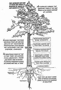How To Identify A Tree By Its Leaves  Flowers  Or Bark