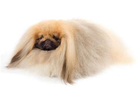 pekingese dog breed information