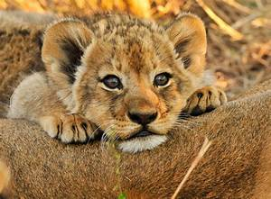 Baby Lions  More Than Just Savanna Princes