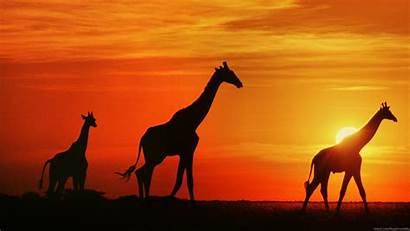 Giraffe Wallpapers Sunset Giraffes Backgrounds Safari Africa