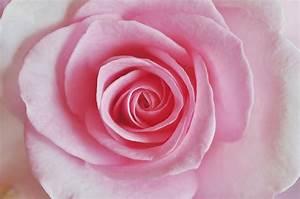 Rosen Kaufen Günstig : rosen fotos ~ Markanthonyermac.com Haus und Dekorationen