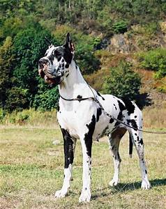 Tellus Danes Wielislaw — male, harlequin, born at 2011 ...