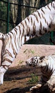 A week into his job, zookeeper in India was mauled to ...