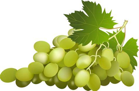 varietà uva da tavola variet 224 di uva da tavola vivai piante gabbianelli