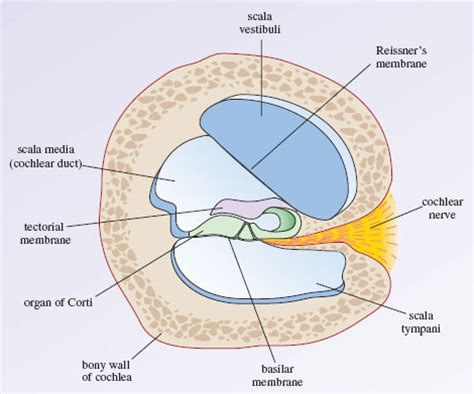 Blank Diagram Of The Cochlea hearing 3 2 the anatomy of the cochlea openlearn open