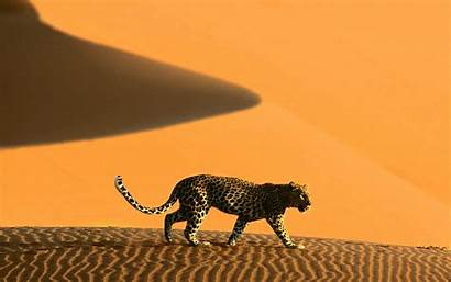 Desert African Africa Leopard Namib Desktop Animals