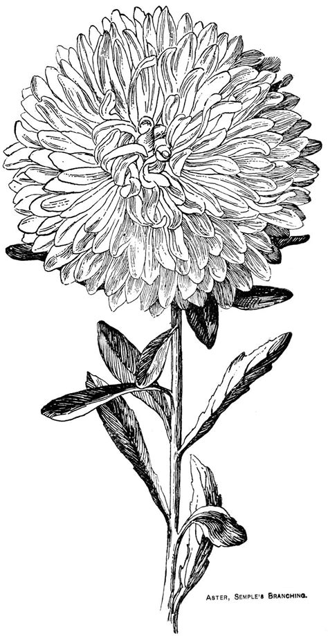 Digital Two for Tuesday: Asters | Flowers | Flower coloring pages, Aster flower tattoos, Aster