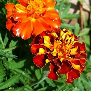 Australian Seed FRENCH Marigold Sparky Mix
