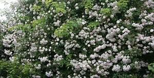Rosen Winterfest Machen : rambler kletterrosen rosen rosen online kaufen im rosenhof schultheis ~ Orissabook.com Haus und Dekorationen