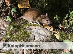 Ratten Bekämpfen Im Garten : rattenbek mpfung durch knipp neumann co gmbh ihre kammerj ger ~ Michelbontemps.com Haus und Dekorationen