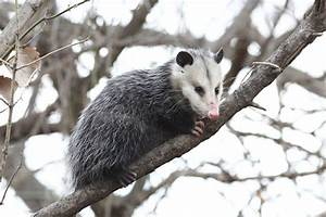 Ridiculously Awesome Facts About Opossums