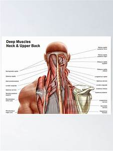 Muscles In The Neck