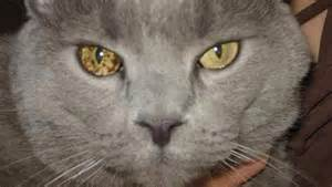 cat eye problems how to keep your cat s healthy cat diabetes cat care
