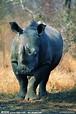 西非黑犀牛_360百科