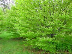 Japanese Beech Tree