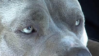 Pitbull Dog Wallpapers Pit Bull Desktop Nose