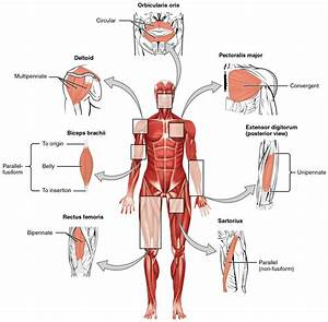 Major Muscles Of The Human Body Diagram - Human Anatomy ...