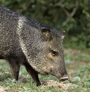"""Peccary Farms in Israel, or """"Where the Hell is my Halo ..."""