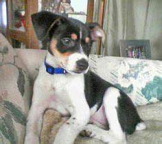 1000+ images about Chilean fox terrier on Pinterest | Fox ...