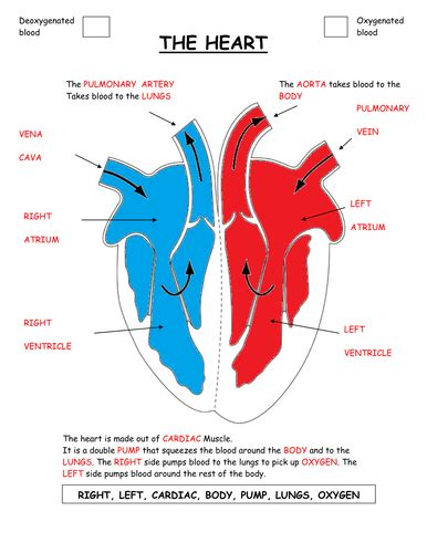 parts of the heart diagram worksheet by gammaray uk