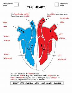 Parts Of The Heart Diagram Worksheet  By Gammaray - Teaching Resources