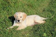 Golden Retriever Puppy Facts