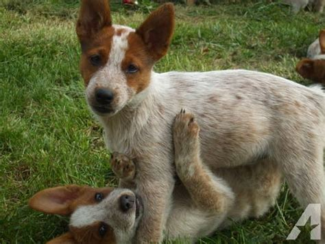 large wire crate for sale adorable australian cattle heeler pup for