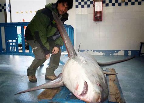 capturado un tibur 243 n zorro en la costa de sant pol de mar