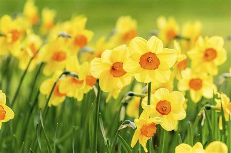 narcissus plant info jonquil narcissus  daffodil bulbs