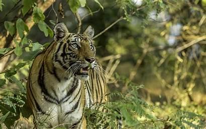 Animals Wild Tiger Dangerous Desktop Indian Wallpapers