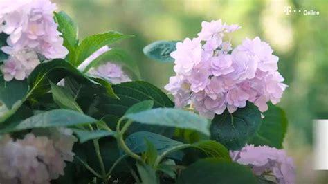 oleander richtig schneiden oleander richtig schneiden vermehren 252 berwintern und gie 223 en garten garten