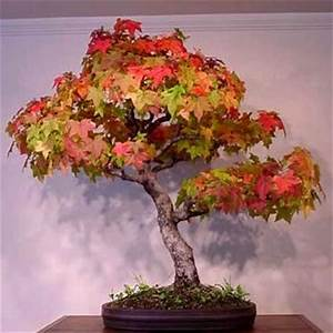 Seeds - 5 Acer rubrum - Red Maple Bonsai Seeds + Free ...