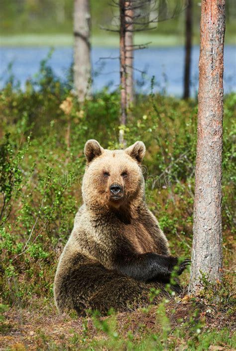 Kodiak Bears - Bears Of The World