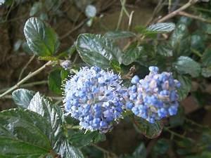 Petit Arbuste Fleuri : dans mon jardin du finistere page 18 ~ Premium-room.com Idées de Décoration