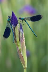 Dragonfly Iris