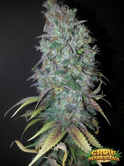 blue dream seeds strain review grow marijuanacom