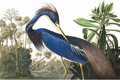 Murals Birds Audubon Bird America Famous Pencil