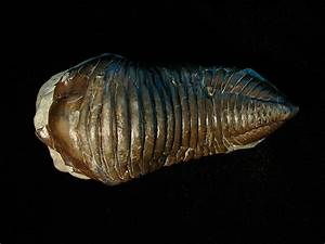 Louisville Fossils and Beyond: Cleaned Silurian Trimerus ...  Silurian