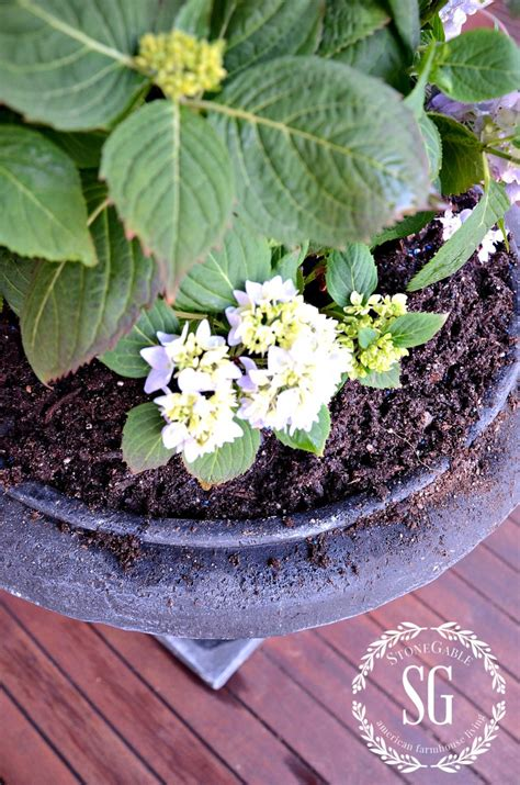 will hydrangeas grow in pots planting hydrangeas in pots and urns stonegable