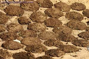 Cow Protection and Krishna Consciousness » cow dung