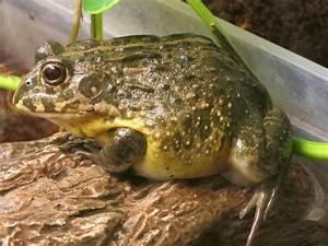 Frosch Als Haustier : grabfrosch bullfrog pixie in ha loch reptilien terraristik kaufen und verkaufen ber private ~ Buech-reservation.com Haus und Dekorationen
