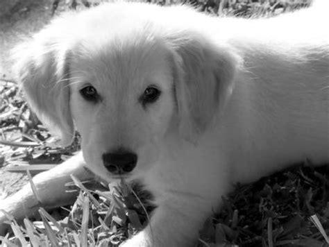 pix  perf golden retrievers daily puppy