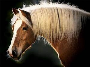 Horses images haflinger HD wallpaper and background photos