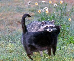 A Housecat and a Raccoon became friends, as photographed ...