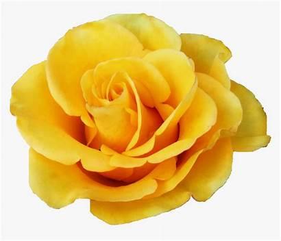 Yellow Rose Transparent Kindpng