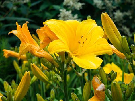 yellow flowers in garden mmt