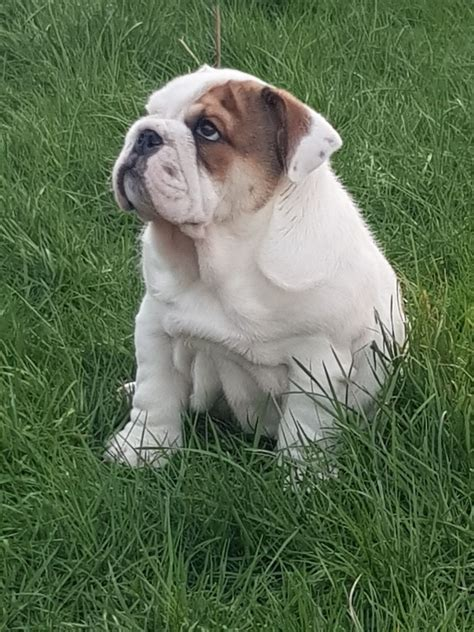 adorable british bulldog puppies  sale scunthorpe