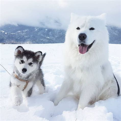 17 Best Images About Samoyeds And Collies ️ On Pinterest