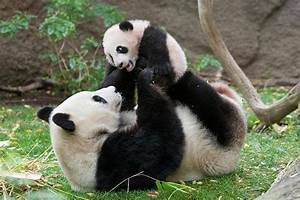 Baby Panda Pictures